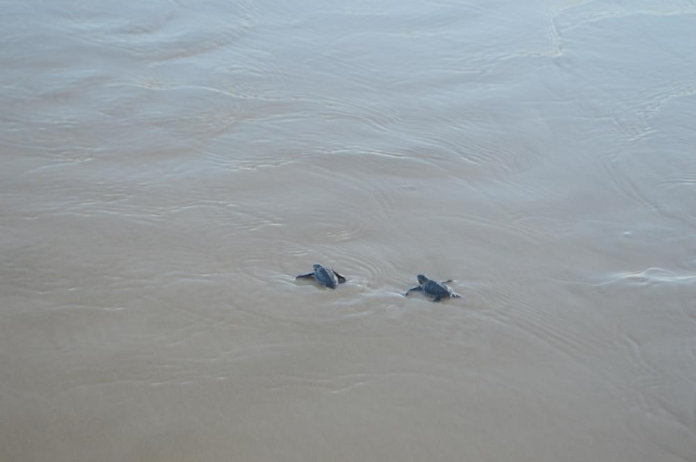 Filhotes de tartaruga são soltos na Praia da Atalaia