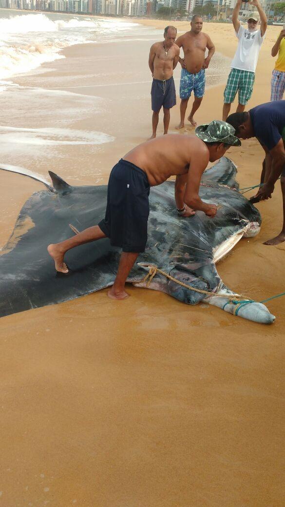 Arraia gigante é capturada na praia de Itapoã, em Vila Velha