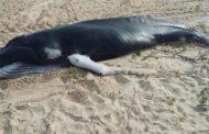 Filhote de baleia que encalhou no Rio Sergipe é encontrado morto