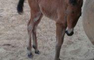 Cavalaria da PMSE comemora nascimento de mais um potro fêmea