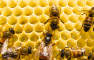 Soro contra veneno de abelhas começa a ser testado em humanos