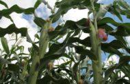 Milho verde dos festejos juninos está garantido pela irrigação pública do Estado