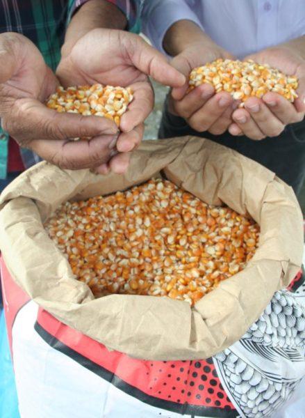 Governo diz que a safra de milho deste ano atingirá 793 mil  toneladas