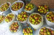 Catadoras de mangaba têm apoio do Governo para uso sustentável do território sul de Sergipe