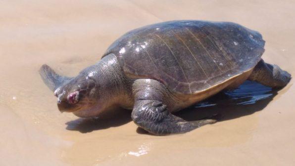 Tartaruga é econtrada morta na Praia da Caueira (Foto: Vera Nilza)