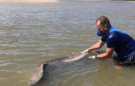 """Peixe-boi marinho """"Astro"""" é atropelado por embarcação entre o litoral sul de Sergipe e norte da Bahia"""