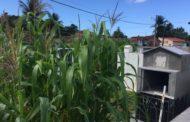 Plantação de milho é encontrada dentro de cemitério, na Grande Aracaju