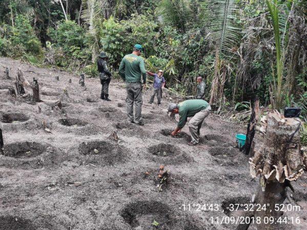 PM e Ibama encontram plantação de maconha em Santa Luzia do Itanhy