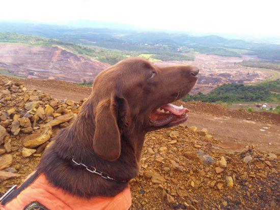 Labrador do canil do CBMSE que participou de missão em Brumadinho se aposenta
