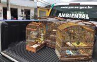 Polícia Militar flagra crime ambiental referente a cativeiro ilegal de pássaros em Itaporanga