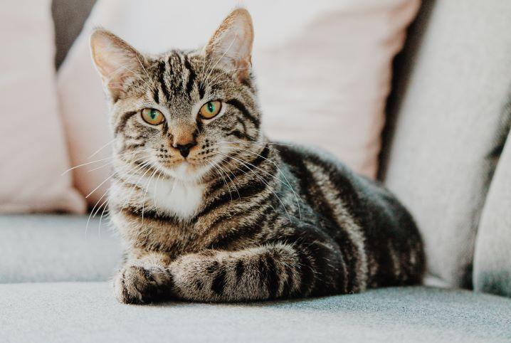 Brasil registra primeiro caso confirmado de covid-19 em gato