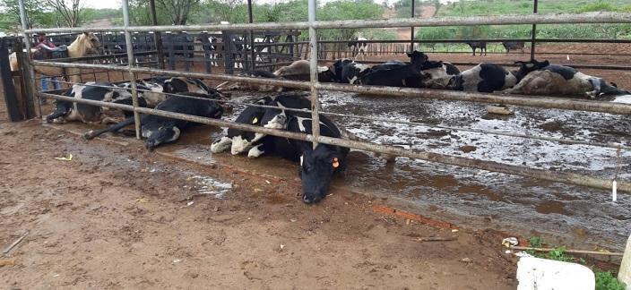 14 vacas morrem após suposta descarga elétrica