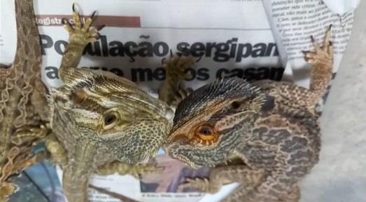 Adema recebe entrega voluntária de 45 lagartos exóticos e 13 cobras